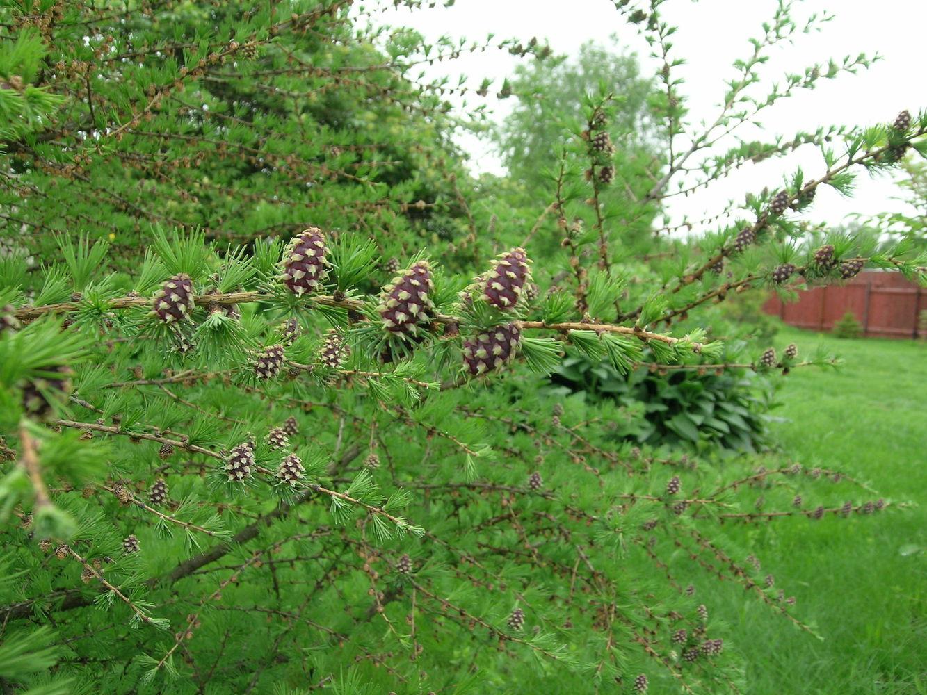 Сибирская лиственница: характеристики и применение древесины