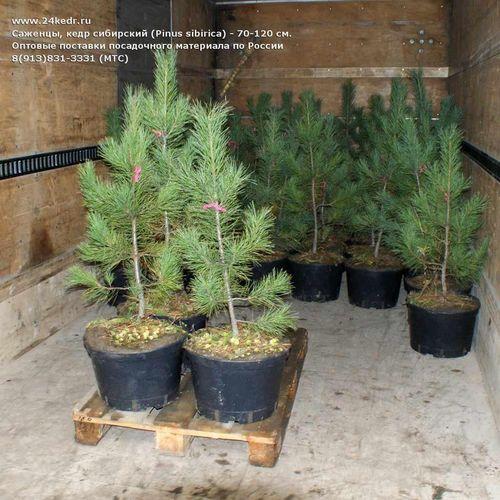 Бонсаи хвойных деревьев – сибирский кедр предмет исследования